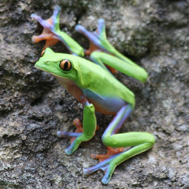Blue-sided Tree Frog