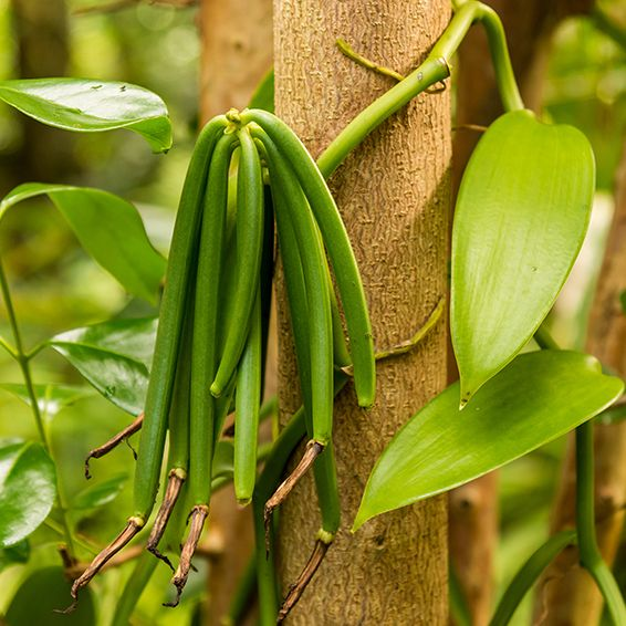 The Vanilla Bean Orchid Gulley Greenhouse Vanilla Plant Grow