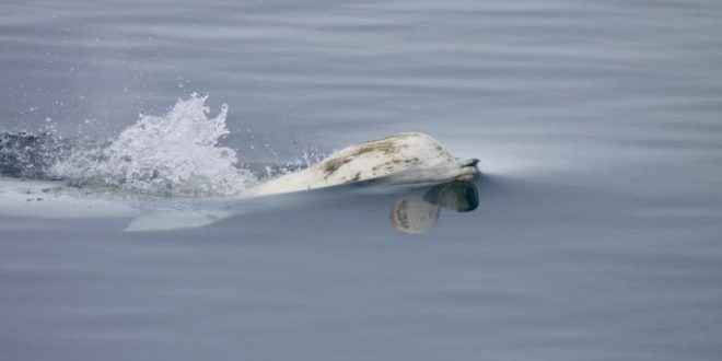 Come il cambiamento climatico influenza la sopravvivenza di molte specie I beluga sono animali molto socievoli. I maschi si riuniscono in gruppi che occasionalmente possono arrivare a contare anche centinaia di individui, mentre le femmine con i piccoli restano in gruppi