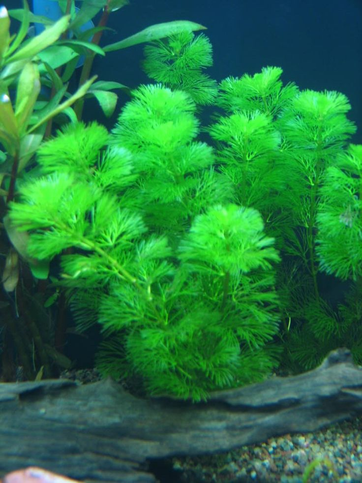 19 best plants in my aquarium images on pinterest for Fish tank live plants