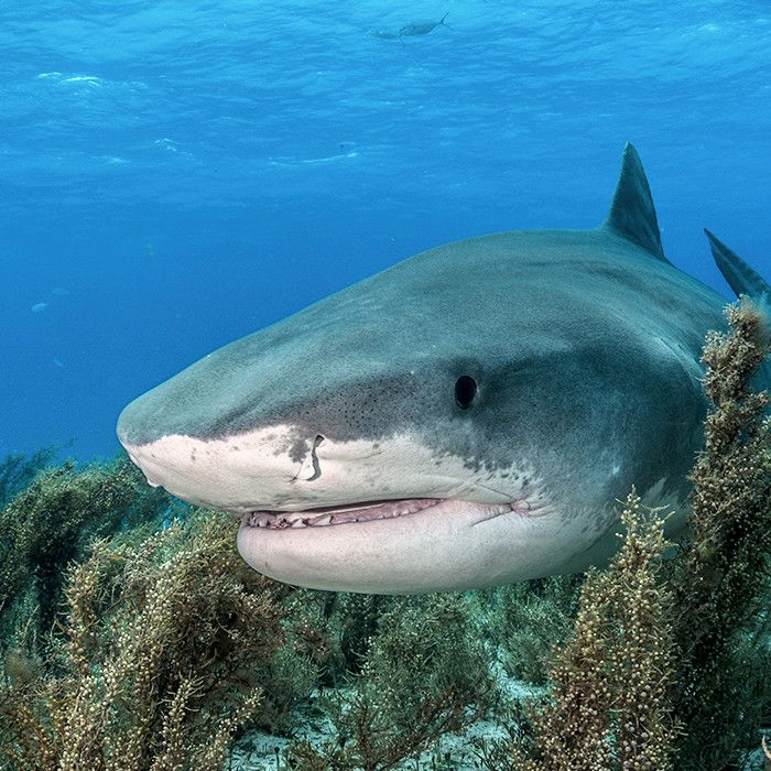 Did you know... The complete shark brain is actually about 2 feet long from olfactory bulbs to brainstem.
