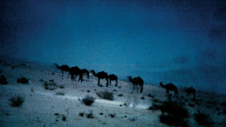 A photograph by photographer Niall O Cleirigh of camels at night in a desert in Saudi Arabia www.essentia.ie