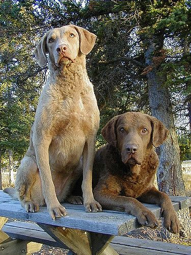 Chesapeake Bay Retriever ~ Chesapeake Bay Dogs Otter n Britt | by chesapeakes