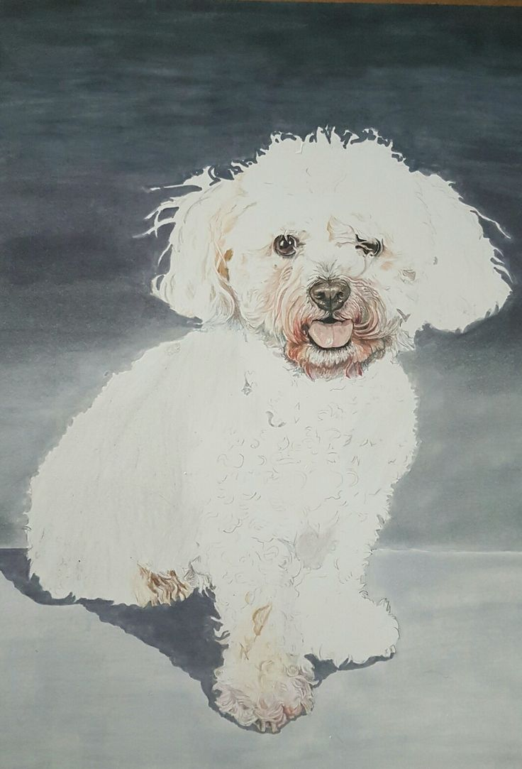 White dog portrait in progress.