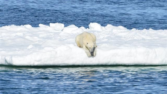 New science sheds more light on recent controversy over how much the large carnivores are being impacted by melting sea ice.