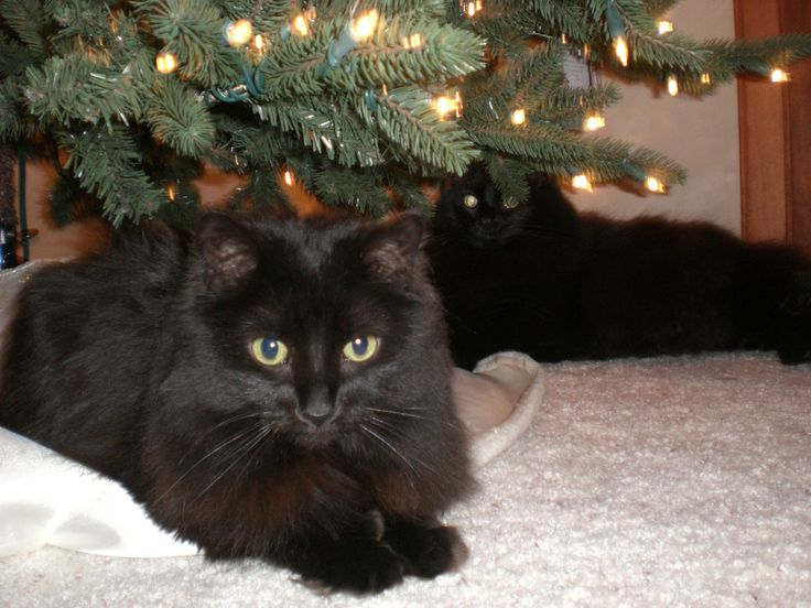 Two Black Cats Under A Christmas Tree