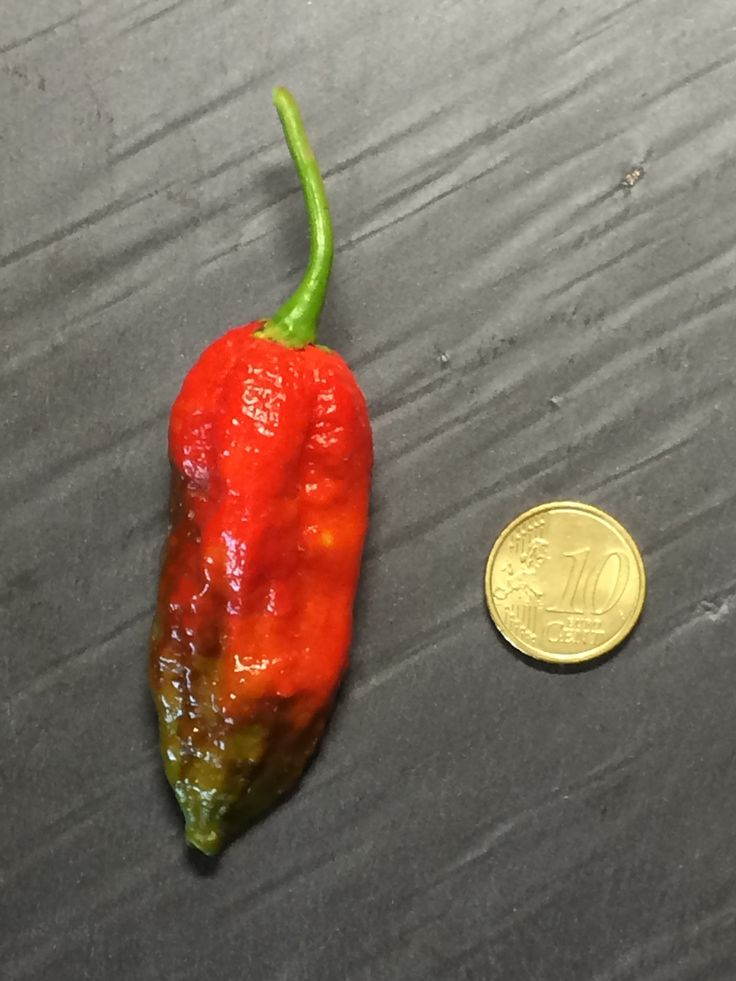 Naga morich hot pepper from PeperonciniPiccanti 2014 collection #peperoncino #peperoncini #hotpeppers www.peperoncinipiccanti.com/naga-morich