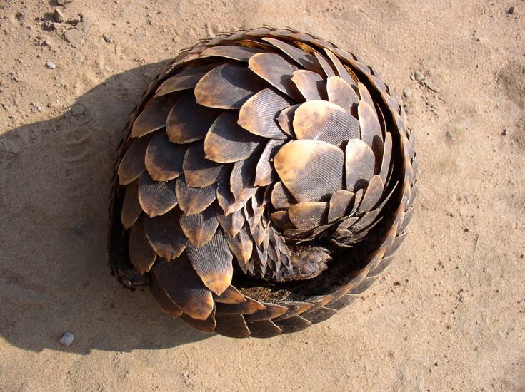 With their seemingly impenetrable scales glowing under the African sun, a Pangolin sighting is one of the rarest and most exhilarating. Read our blog to find out why!