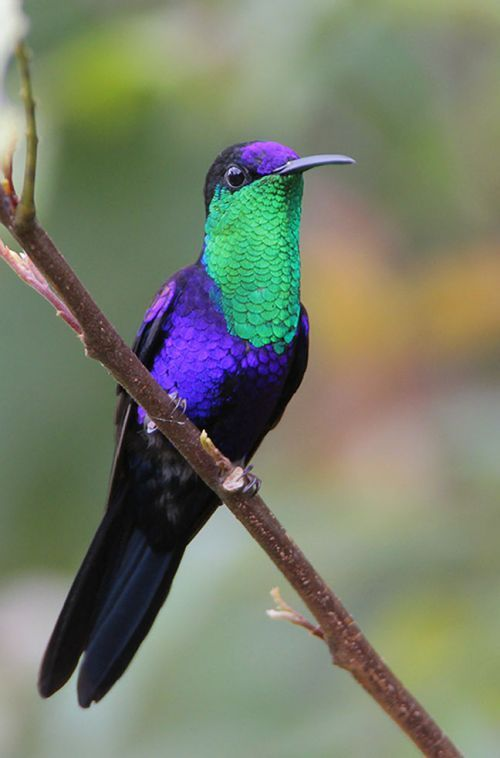 The Violet-crowned Woodnymph (Thalurania colombica), also known as the Purple-crowned Woodnymph, is a medium-sized hummingbird found from Guatemala and Belize to northern Colombia and western Venezuela.