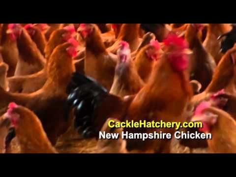 New Hampshire Red - Baby Chickens for Sale | Cackle Hatchery