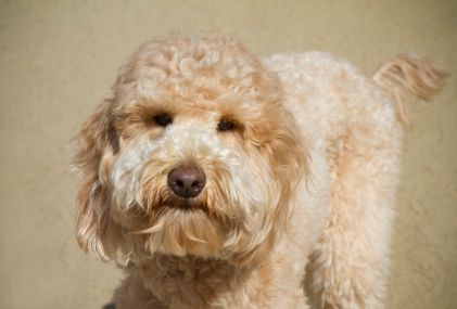 Goldendoodles | Temperament & Personality