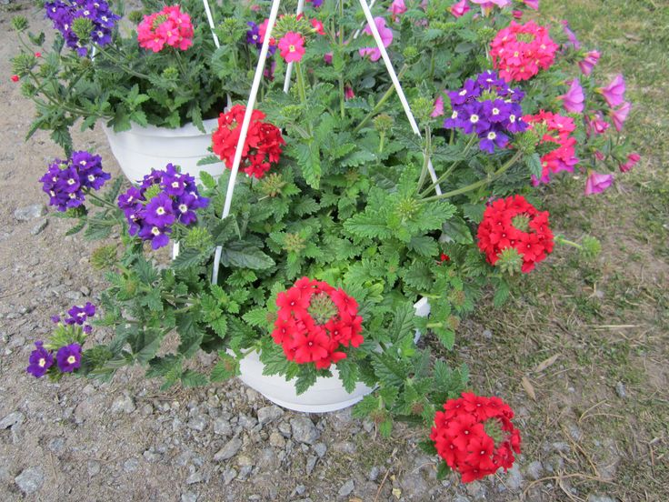Verbena 'Samira blue with eye-cherry-bright pink'