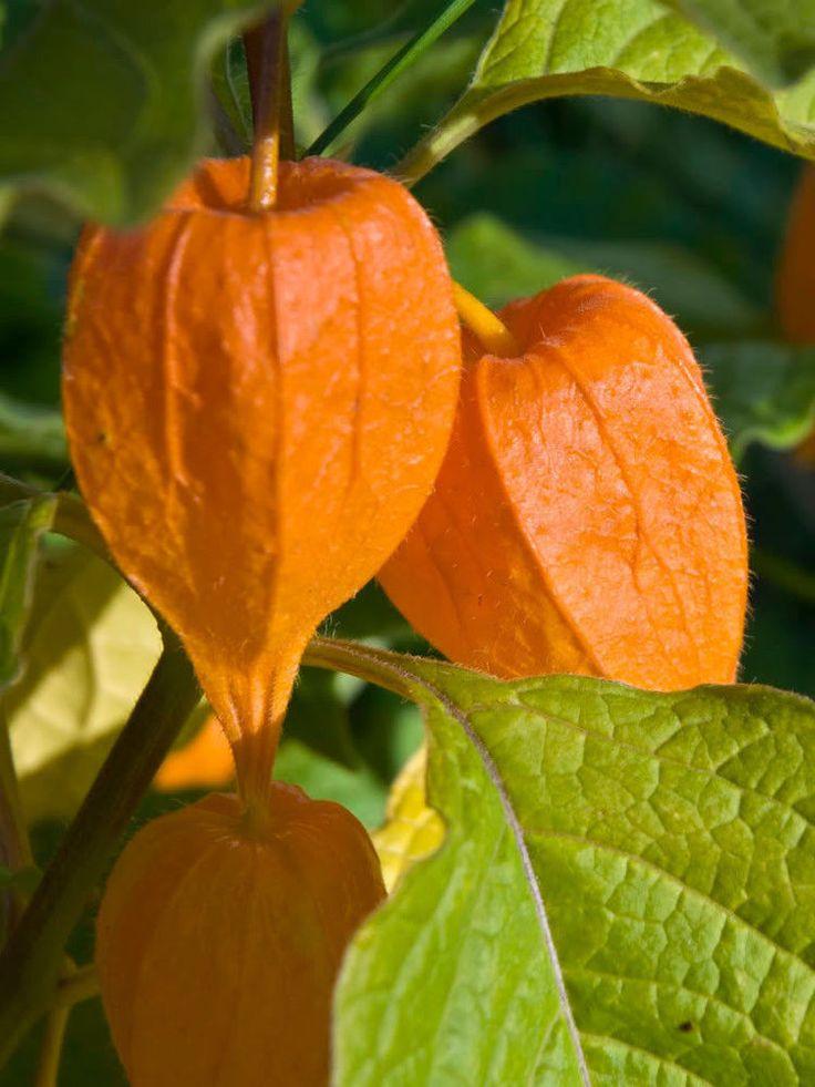 CHINESE LANTERN Physalis Alkekengi Flower Seeds