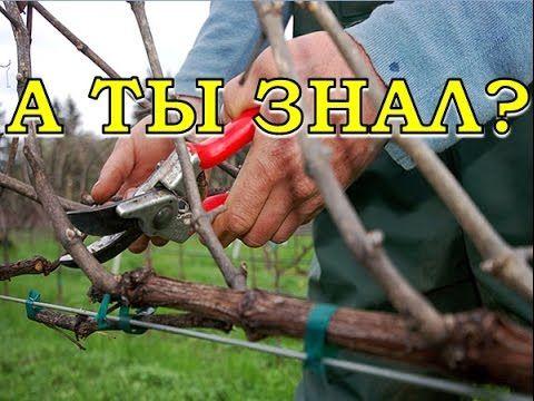 (24) Обрезка  винограда пошагово - YouTube