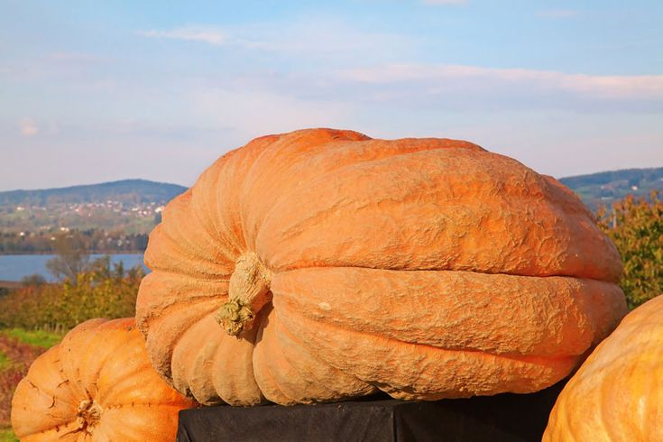 Halloween Fun Fact 9 The Largest Pumpkin Ever Measured