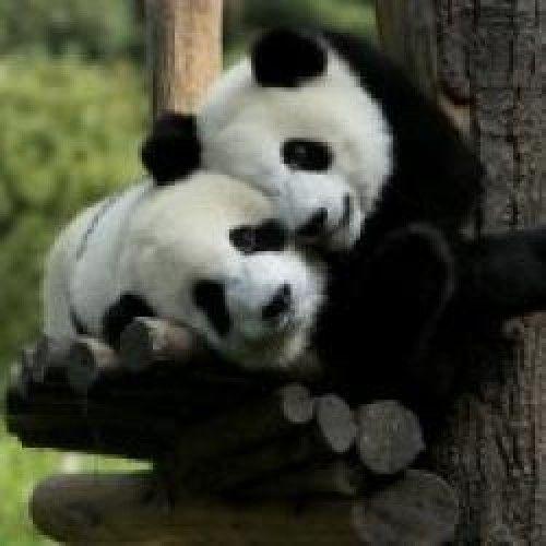 Curiosidades sobre os Ursos Pandas