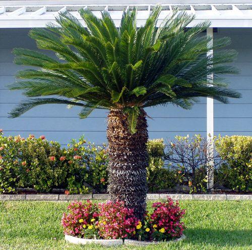 Sago palm tree palm trees pinterest trees sago palm for Cycas landscape design