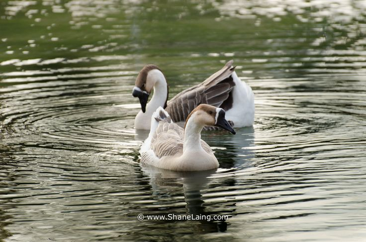 This pair of Chinese Geese watched me carefully as they paddled around this pond in Picton, Ontario.