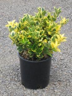 We need some year round shrub--Consider this?  euonymus yellow shrub