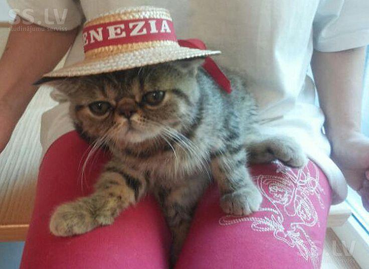 SS.lv Кошки, котята - Экзотическая короткошерстная, Цена 150 €. Продаю замечательного глазастого мальчика. Очень дружелюбный - Объявления