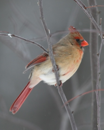 I have seen female Cardinals in the southern US, but never here in Nova Scotia.