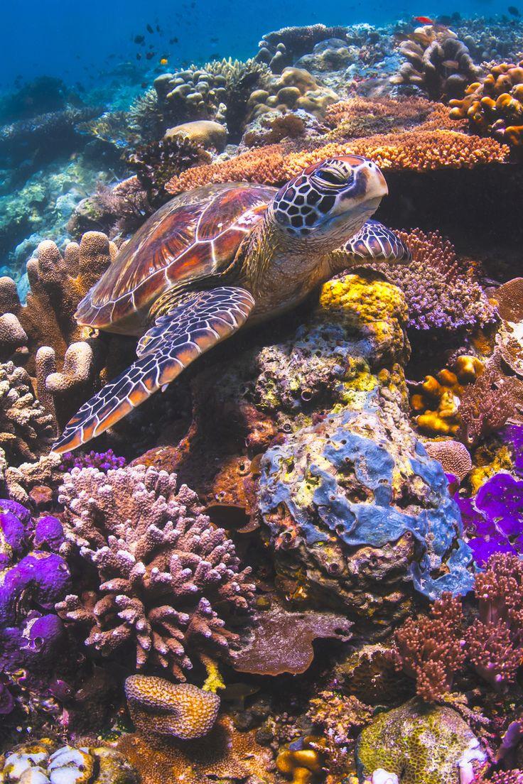 Green Sea turtle on colorful reef in Sipadan Island, Sabah, Malaysia