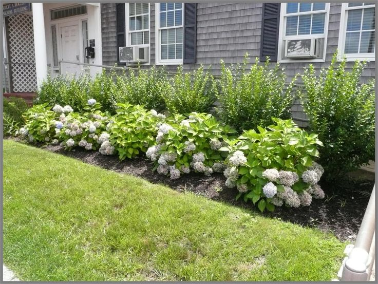 This garden picture is of a simple foundation of endless summer hydrangea, backed up by a loose row of privet