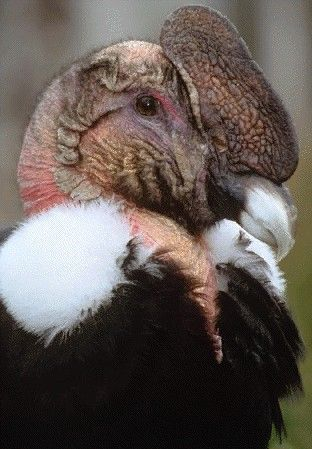 Birds of Prey - The beautiful Andean Condor of South America  has a wingspan of 10 to 11 feet.