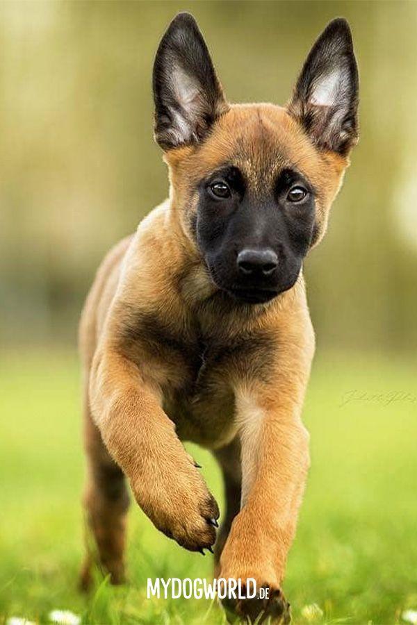 Cute Puppy Belgian Malinois Puppy Malinois Hund Belgischer Schaferhund Hundebabys