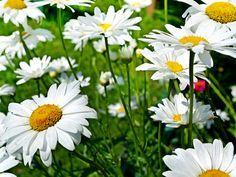 10 plantes médicinales à cueillir dans les champs - La pâquerette