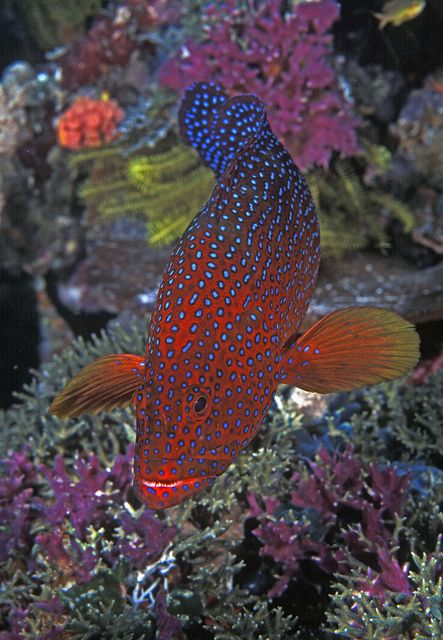 coral trout, leopard coral grouper or leopard coral trout is native to the western Pacific Ocean. Papua New Guinea coral reefs. by Ci. Singapore2