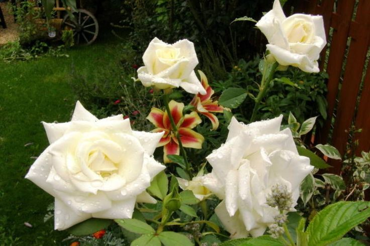 Frederic Chopin Rose – Catalog rose types and rose varieties