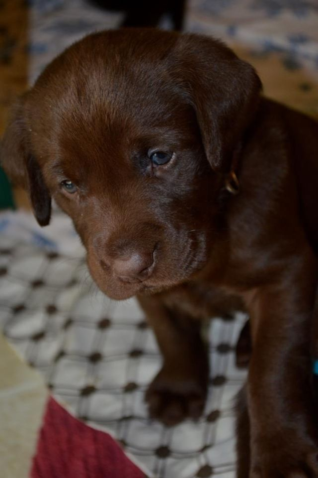 Chocolate Lab Puppies. Could have been Ralph!
