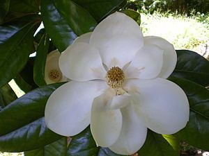 The magnolia has been said to symbolize sweetness and a love for nature and is an ancient genus, read here for more fascinating from wiki.
