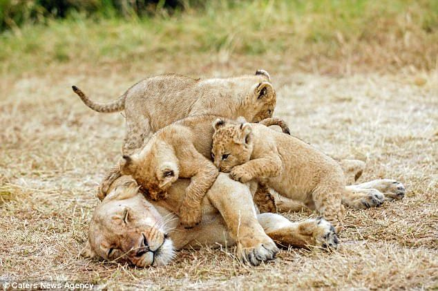 A lioness is given a rude awakening from her fiesty cubs in Kenya's Masai Mara, even thoug...