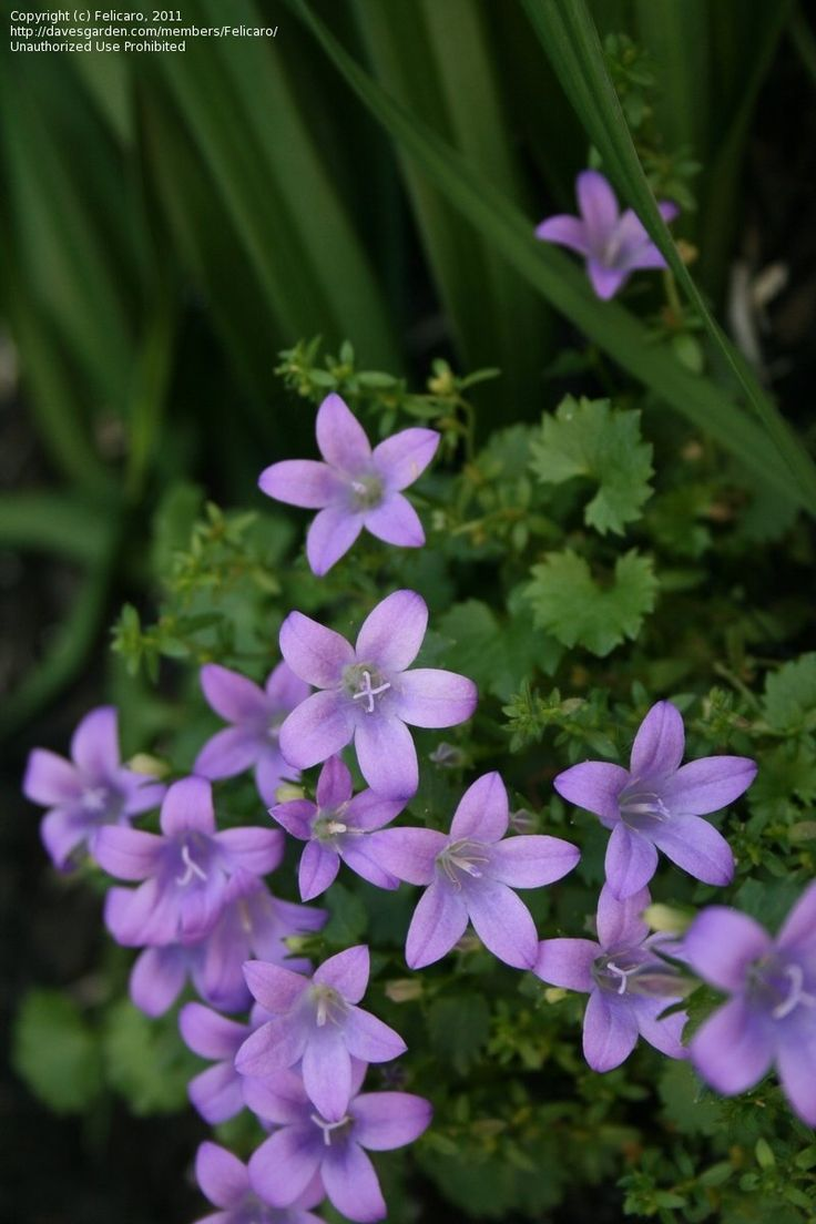 Grows in Quebec, Canada, Zone 5b Dalmation bellflower ...