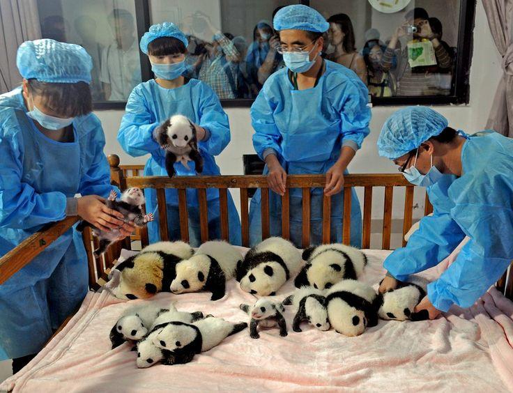 Chengdu Research Base of Giant Panda Breeding, in Chengdu, China.