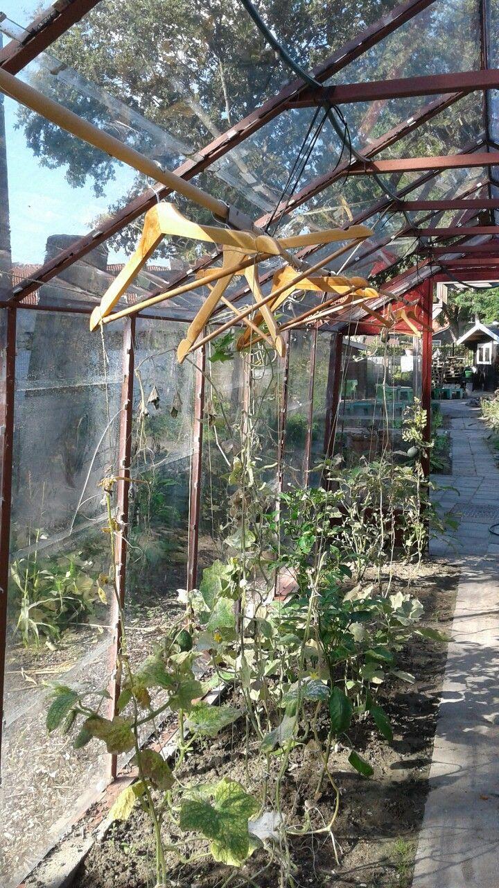Tomatenplanten hangen aan de klerenhanger in de kas van Pameijer Goeree Overflakkee.