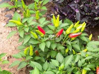 high angle shot of chili plant. - High angle view of red and green chili plant.