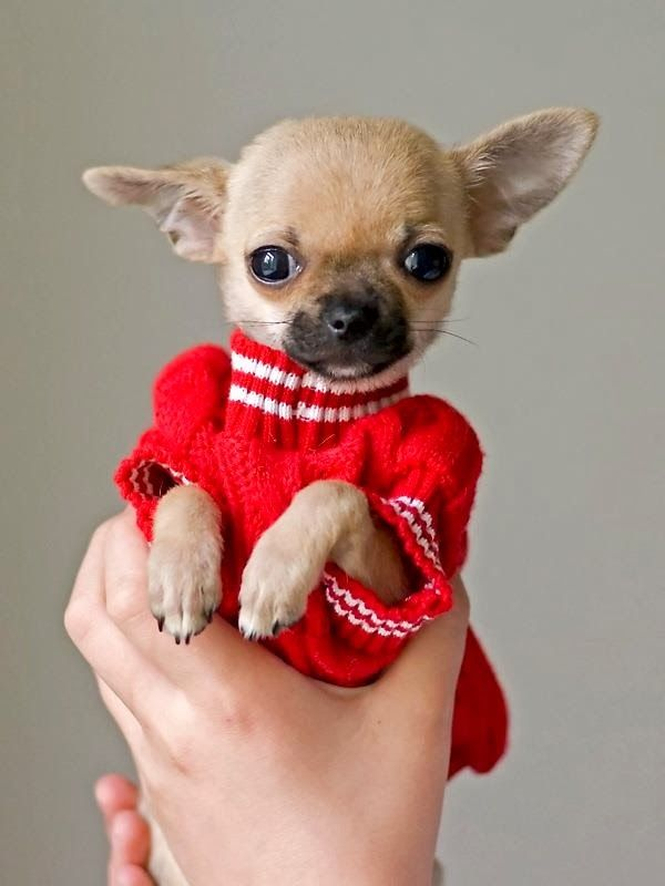 are chihuahua hypoallergenic 17 best ideas about smallest dog breeds on pinterest 4359