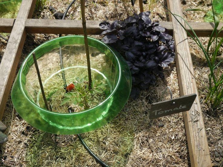 Plants de tomate et de basilic pourpre
