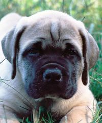 Tank the South African Boerboel