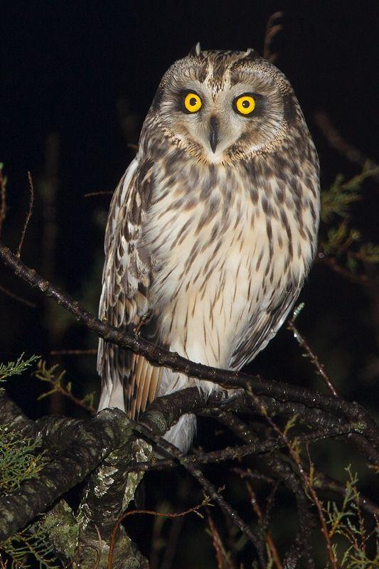 Coruja-do-nabal - Short-eared owl - Asio flammeus (Murtosa, Portugal) | BirdsinEurope by Tomás Martins