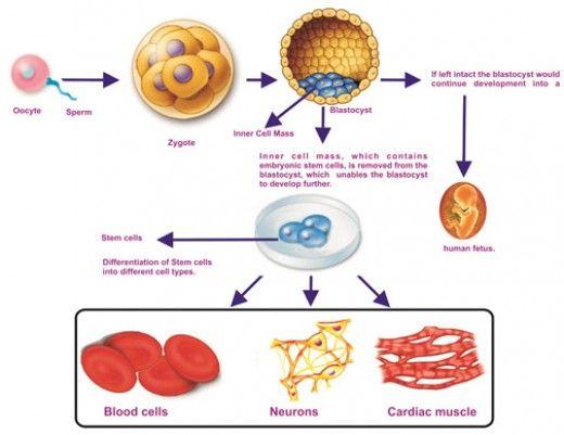 How Stem Cells Work