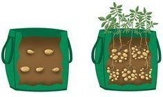 Come coltivare le patate in una borsa della spesa