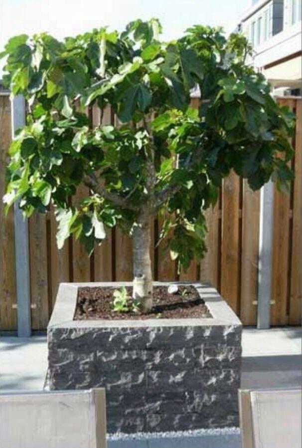 Vijgenboom • Sociaal leven, ledigheid en luiheid