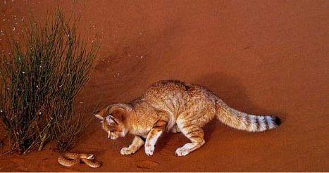 Chat du d sert ou chat des sables et serpent alg rie - Chat des sables a vendre ...