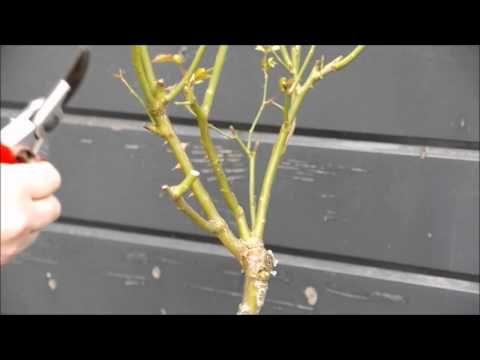 Op dit videokanaal kunnen tuinliefhebbers het hele jaar door praktische informatie; seringen snoeien tijdens de bloei of rigoureus in de winter. Salie, Roos Compassium snoeien eind juli. Na de bloei lavendel, kattenkruid, rhododendron  snoeien