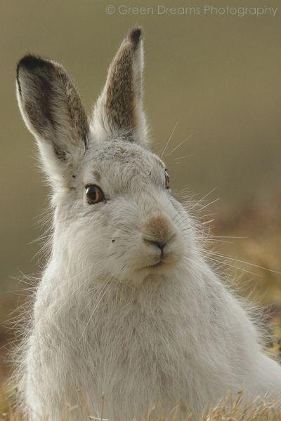 https://flic.kr/p/dWhU1N | Mountain Hare | This