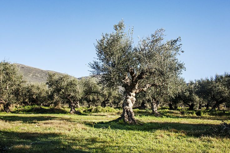 Can it be more Natural!! - Andelea Estate Premium Extra Virgin Olive Oil